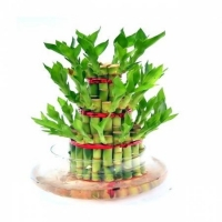 3 Layer Lucky Bamboo