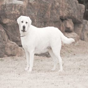 White Labrador Dog
