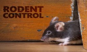 Rat | Mice | Rodent Control Service