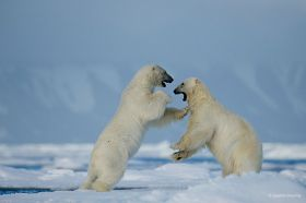 Svalbard, Norway Polar Bear Photography Expedition